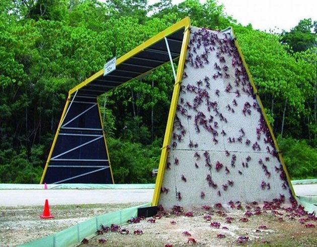 Ecodotti sopraelevati per i granchi di Christmas Island