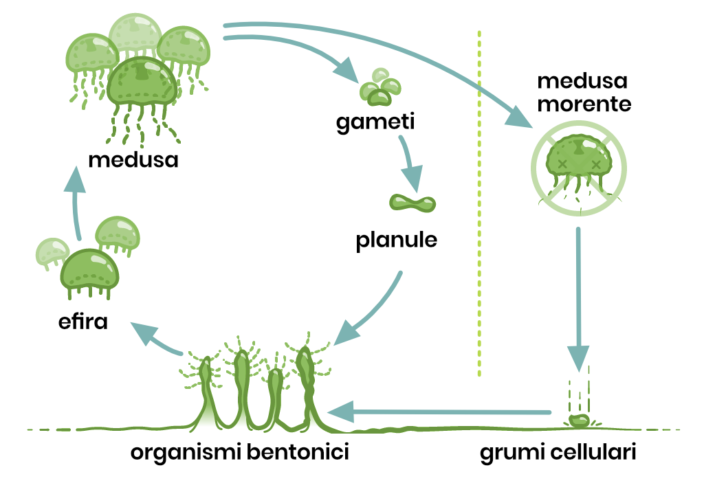 La medusa turritopis dohrnii può vivere per sempre