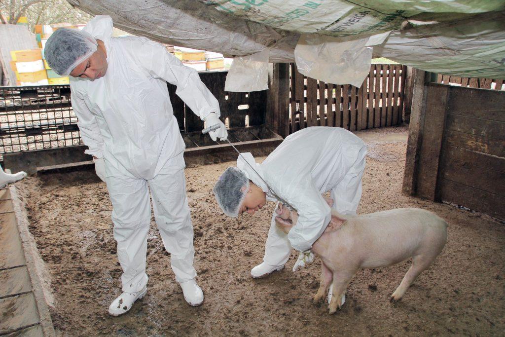G4 influenza suina che può portare una nuova pandemia